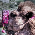 A camel in Selcuk turkey