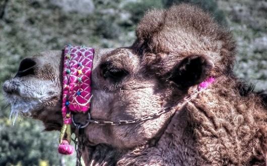 A camel in Selcuk turkey