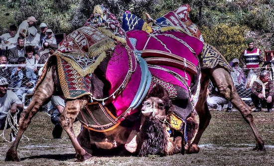 Camels wrestling in Selcuk, Turkey
