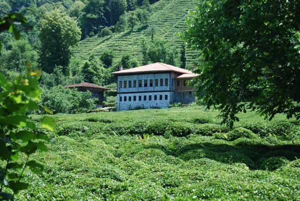 Campi di tè a Rize