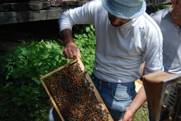حارس النحل المحلي