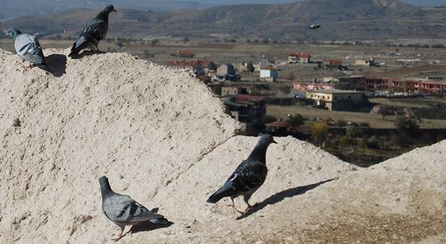 uchisar pigeons